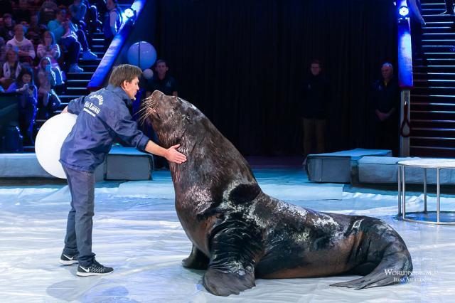 Стремительные лошади, очаровательные морские львы, свирепые хищники и бесстрашные акробаты…В Большом Московском прошла открытая репетиция!