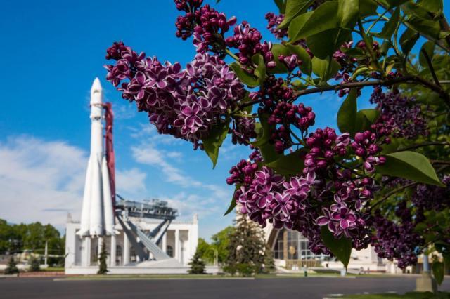 «Красавица Москвы»: на ВДНХ цветёт уникальная сирень Леонида Колесникова