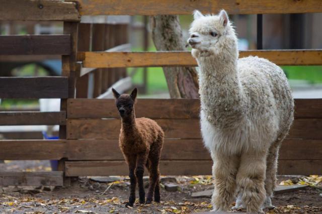Пользователи соцсетей ВДНХ выберут имя детенышу альпака на «Городской ферме»