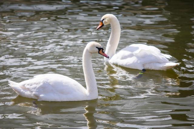 Премьера сезона на ВДНХ: лебеди-шипуны на Каменских прудах