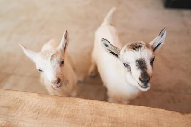 Ветерок и Звездочка: зааненские козлята на ВДНХ обрели имена