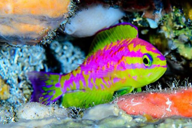 Ученые нашли рыбу кислотных цветов