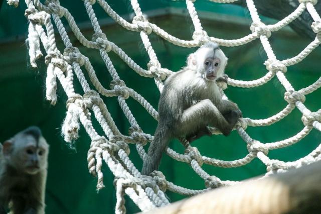 В Московском зоопарке родился детеныш капуцина плаксы