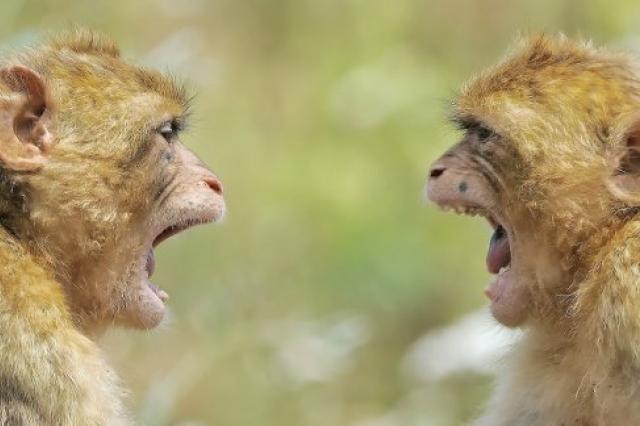 Мозги обезьян начали работать синхронно после наблюдения друг за другом