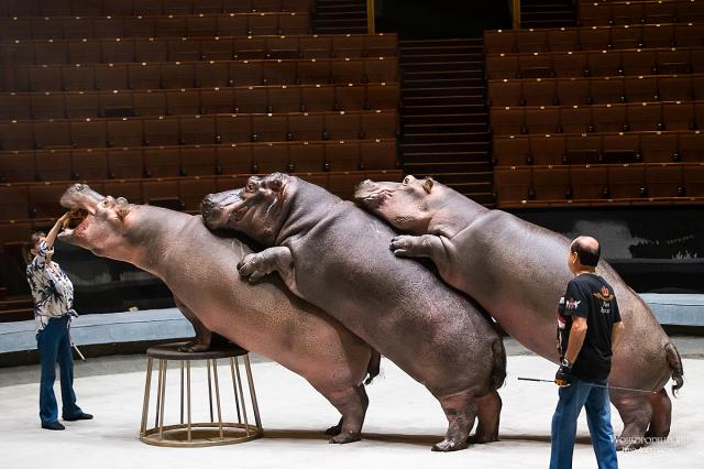 «В меру упитанные и прекрасно воспитанные!» - в Большом Московском цирке взвесили бегемотов, медведей, пум и попугаев