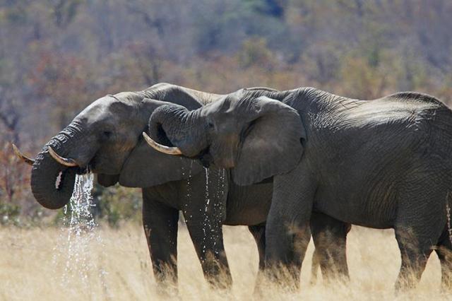 Палеонтологи открыли «прямого» предка человека размером со слона