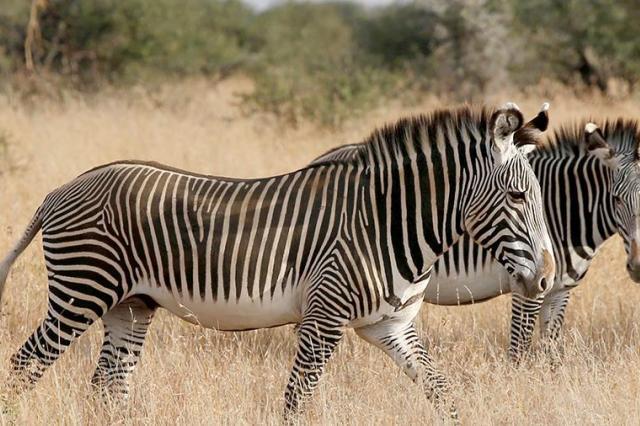 Ученые раскрыли секрет полосатого окраса у зебр