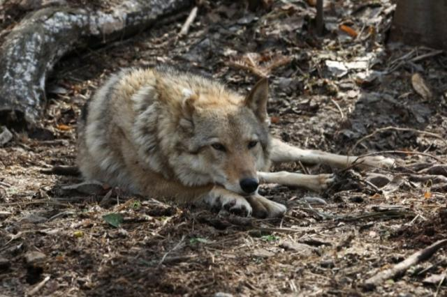 Найдено необычное отличие домашних собак от волков