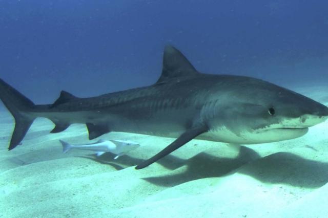 Новый род вымерших акул назвали в честь видеоигры