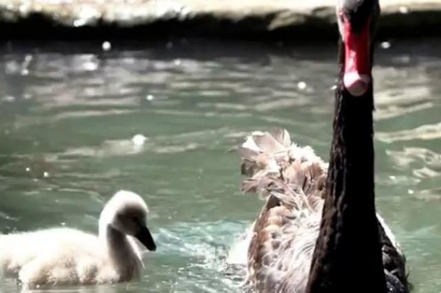 В Московском зоопарке появился на свет птенец черного лебедя