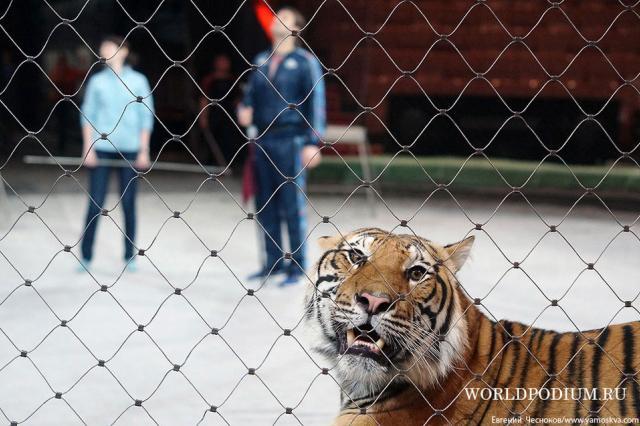 «Ап, и тигры у ног моих сели...» Фильм «Маргарита Назарова» - уникальное событие в кинематографе и дрессуре!