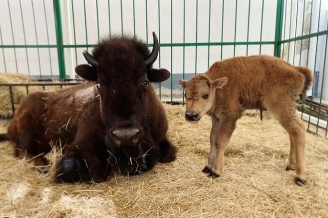 В Екатеринбургском цирке родился малыш-бизон