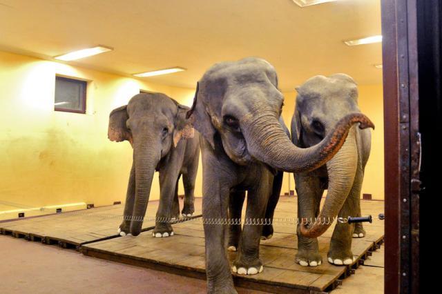 Слоны легендарной Династии Корнлиловых вне цирковой арены