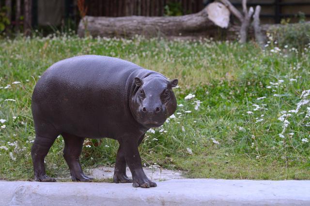 В Московском зоопарке впервые за 30 лет появился бегемот