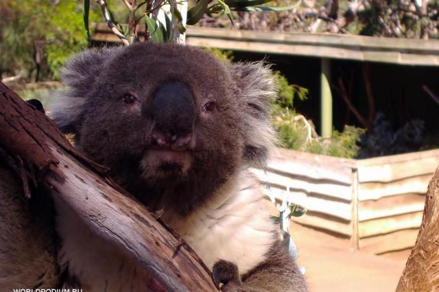 Полмиллиарда животных гибнут в австралийских лесных пожарах