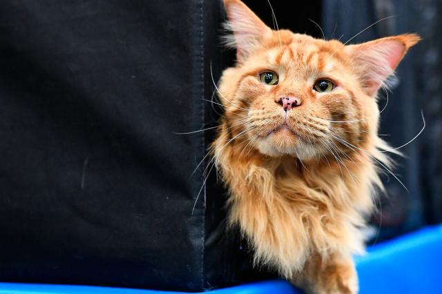 Всем любителям кошек! Придёт весна, а с ней— большой кошачий праздник.