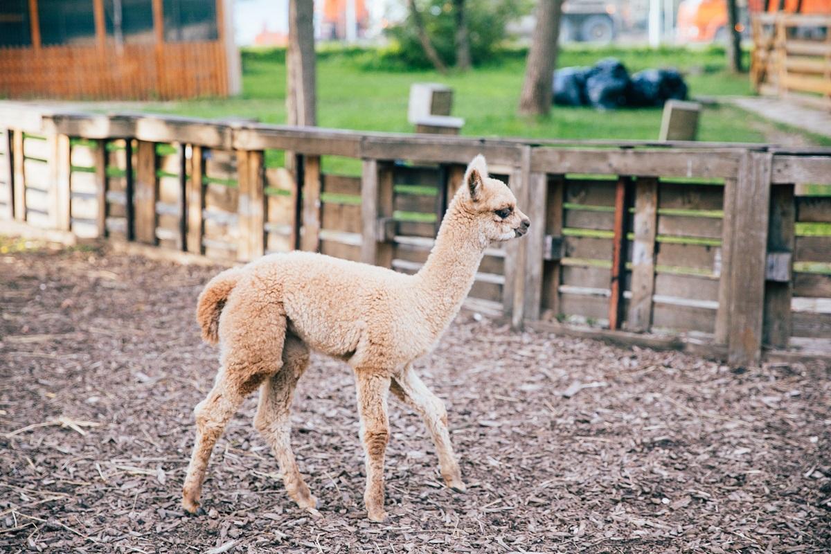 Интернет-пользователи выберут имя детенышу альпака, родившемуся на «Городской ферме» на ВДНХ