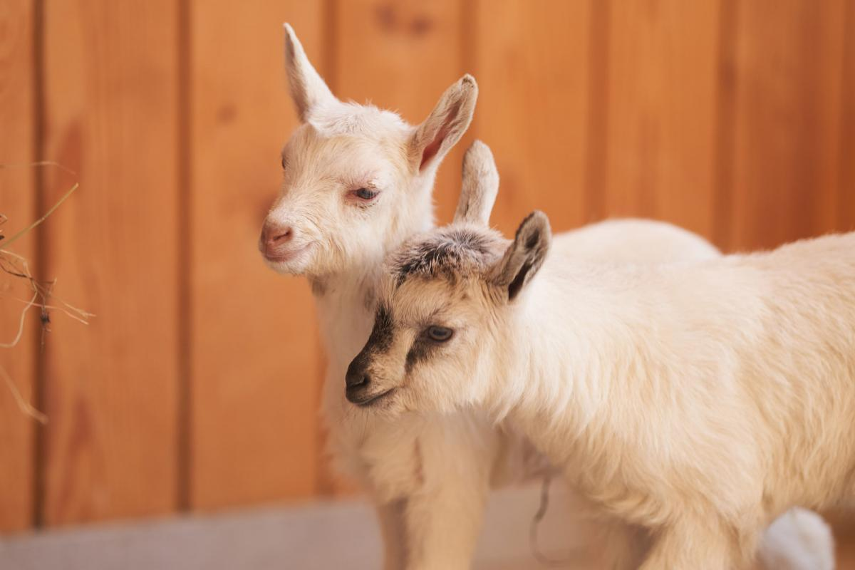 Зааненские козлята от Белки и Стрелки на ВДНХ: имена новорожденным выберут пользователи соцсетей