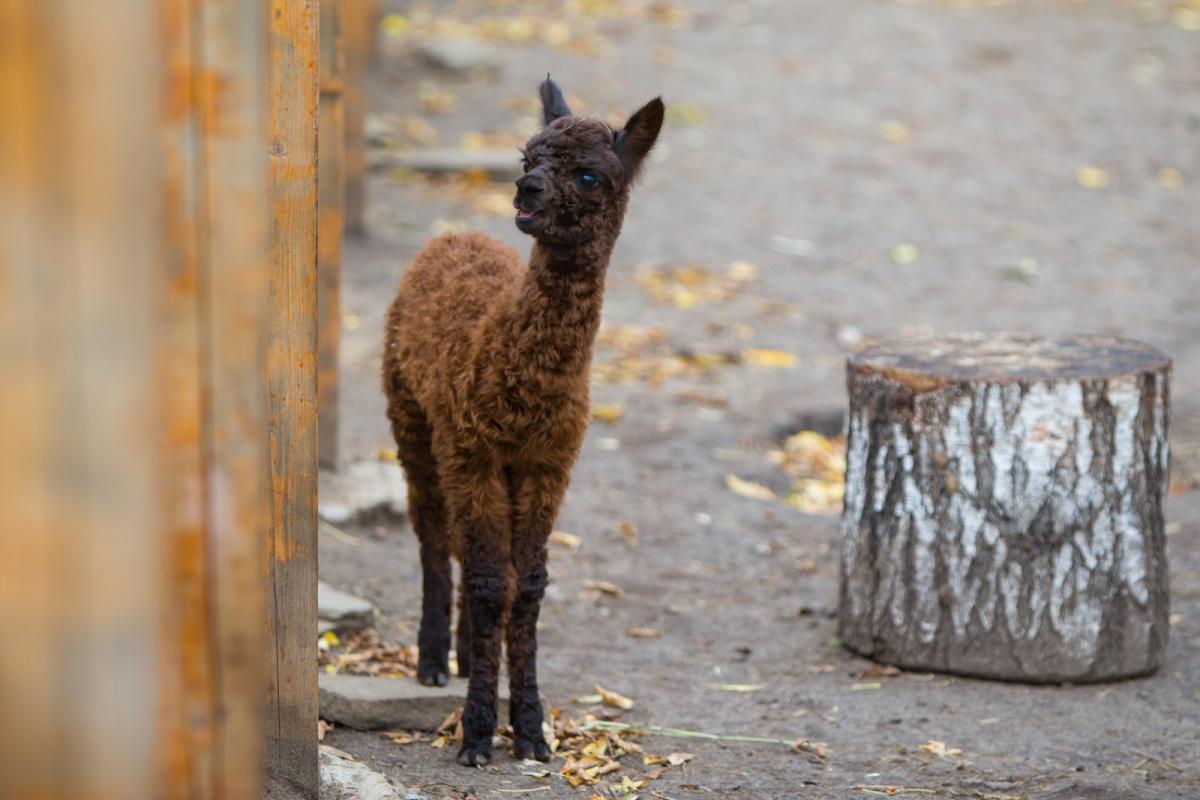 Мама альпака на «Городской ферме» ВДНХ выбрала имя первенцу