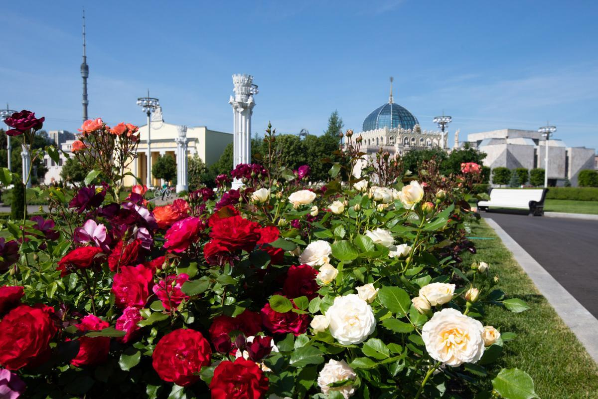 «Принц монако», «леонардо да винчи» и флорибунда «сатчмо»: какие розы расцвели на ВДНХ