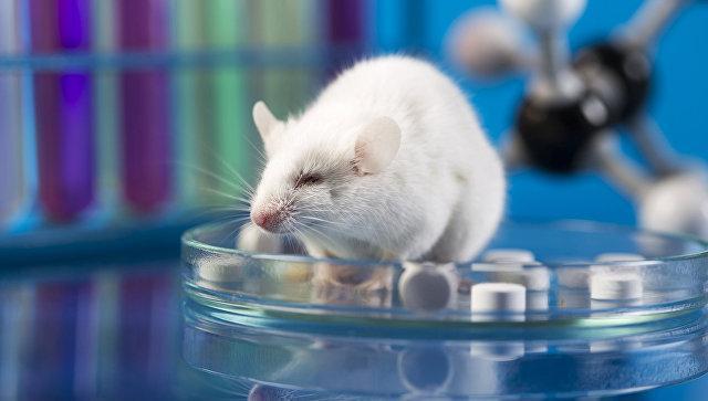 Биологи пересадили мышам крохотный человеческий мозг