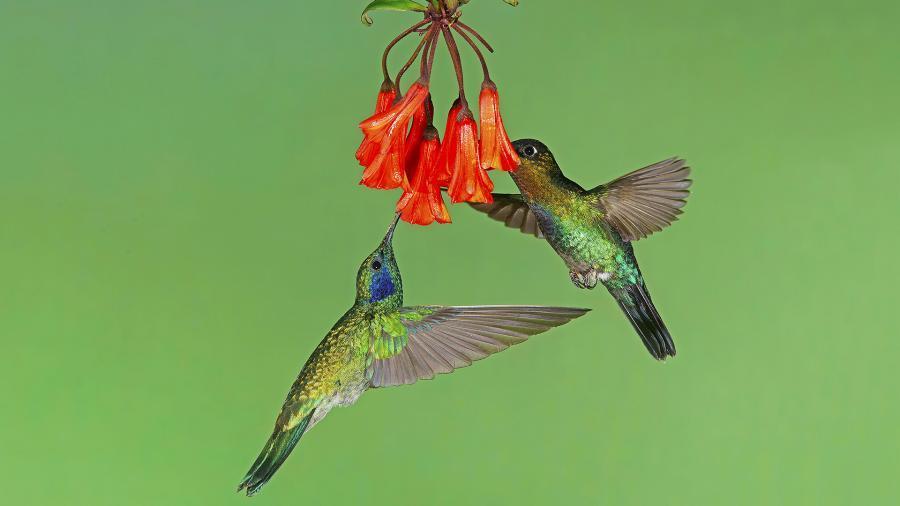 Ученые раскрыли тайну необычной окраски колибри