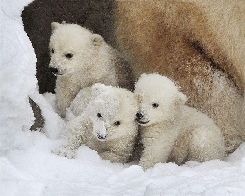 Московский зоопарк отметит день полярного медведя