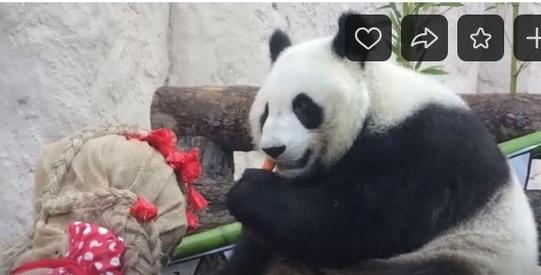 Панды Московского зоопарка отметили день рождения
