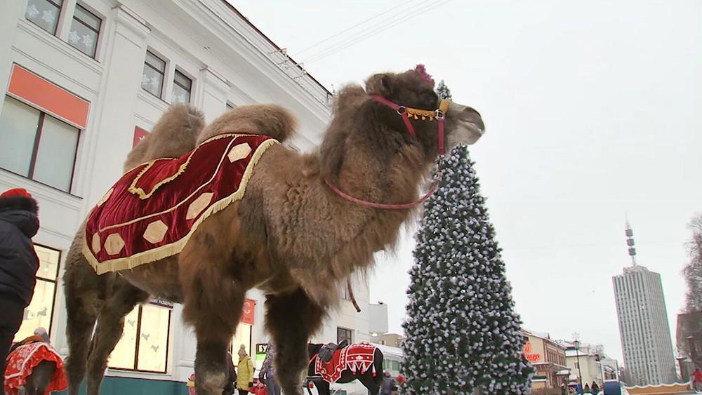 Верблюдица Люся стала героиней Нового года в Архангельске