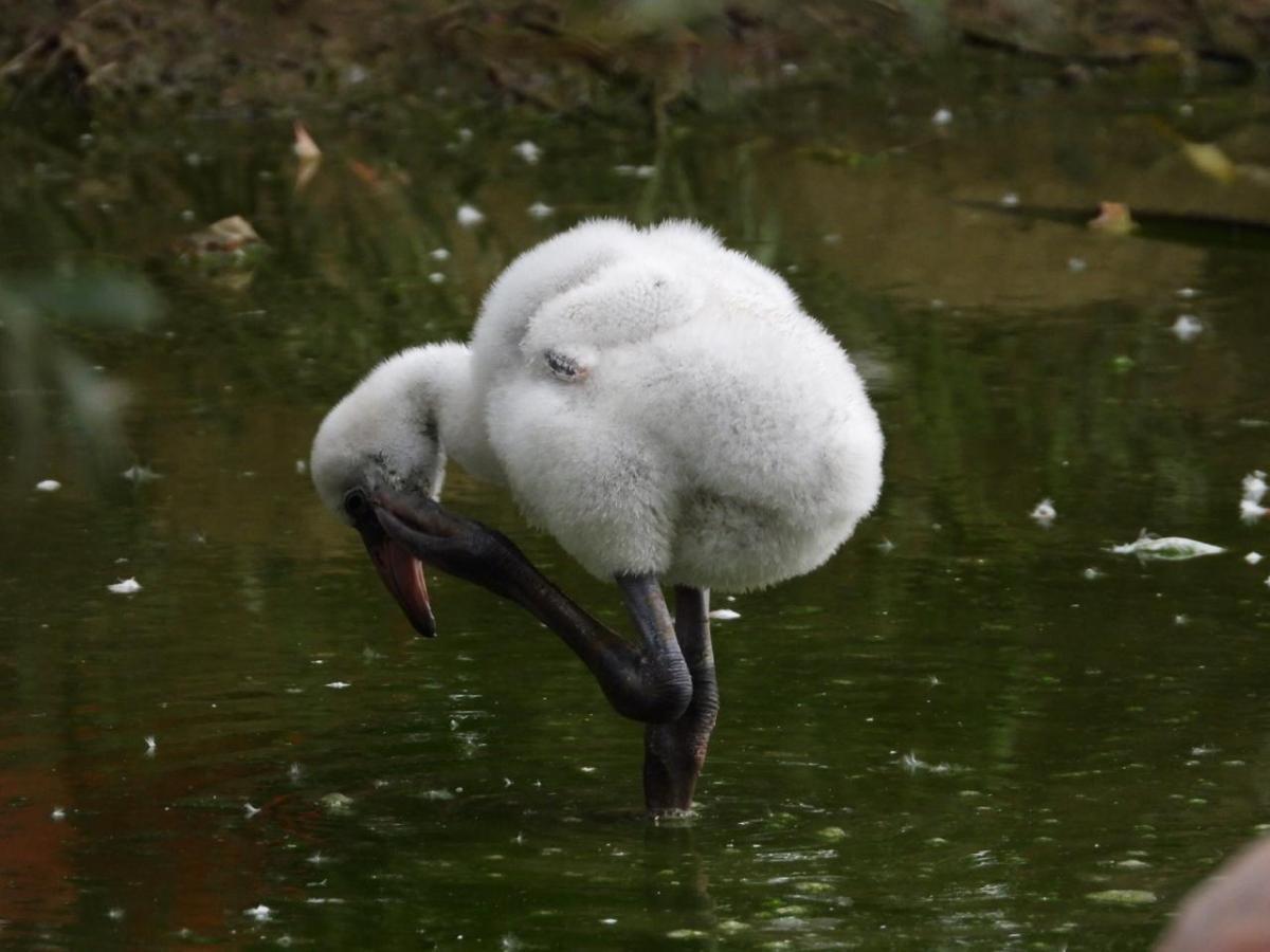 В Московском зоопарке появились птенцы фламинго